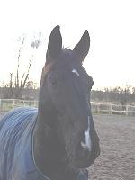Pferd Samba